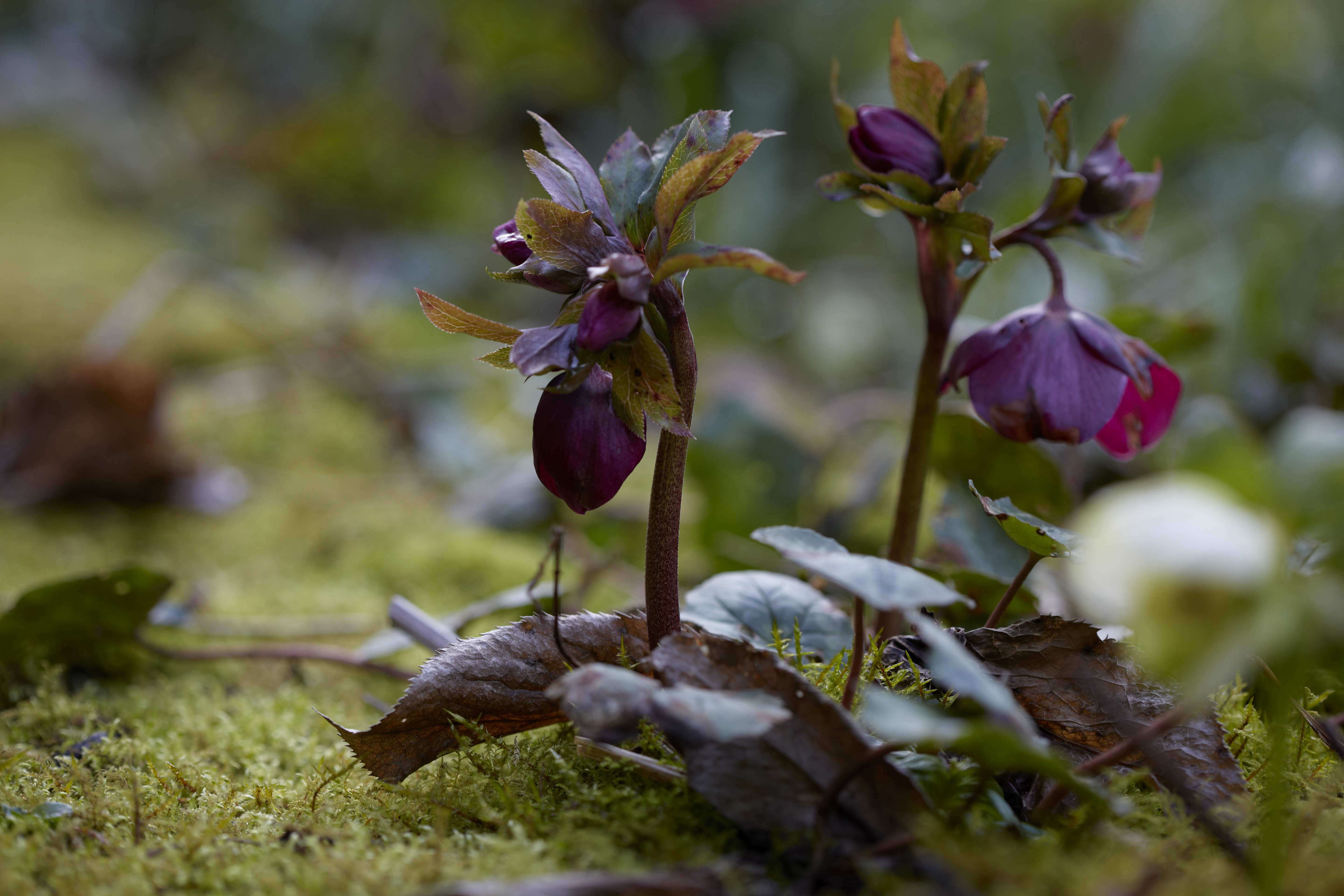 hellebore-purple-helen-ballard-herefordshire-britt-willoughby-dyer-bn2a0138