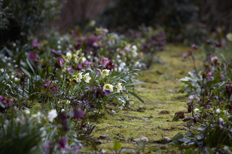 hellebores-path-helen-ballard-herefordshire-britt-willoughby-dyer-bn2a0017