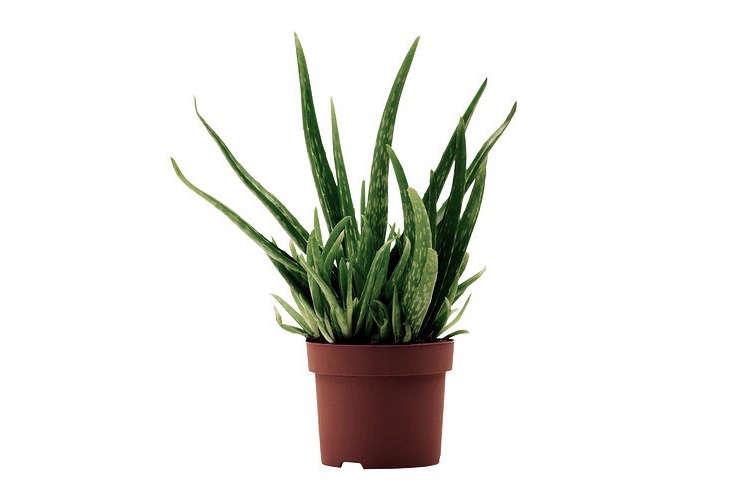 ikea-aloe-vera-potted-plant