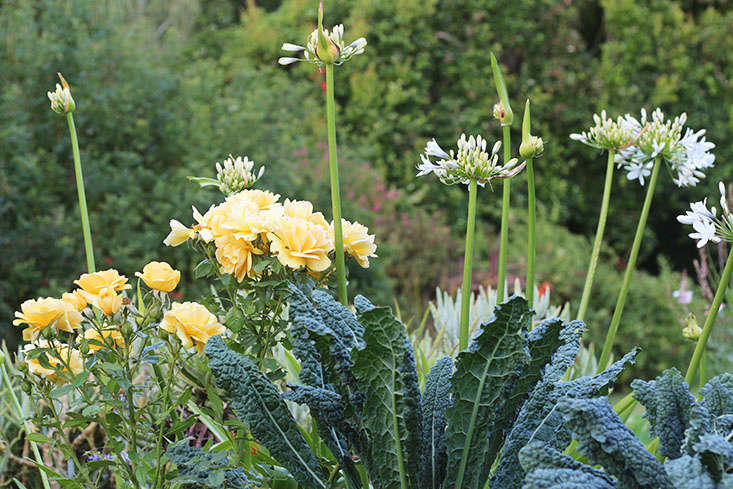 Kale and roses. See more in  and Me: My Favorite Edible Plants to Grow in Shade. Photograph by Marie Viljoen.