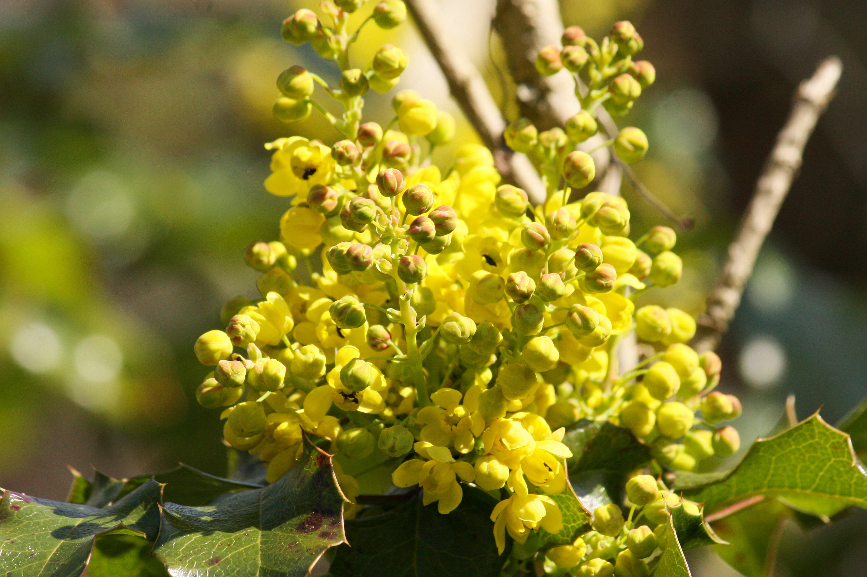 mahonia-closeup-maja-dumat-flickr