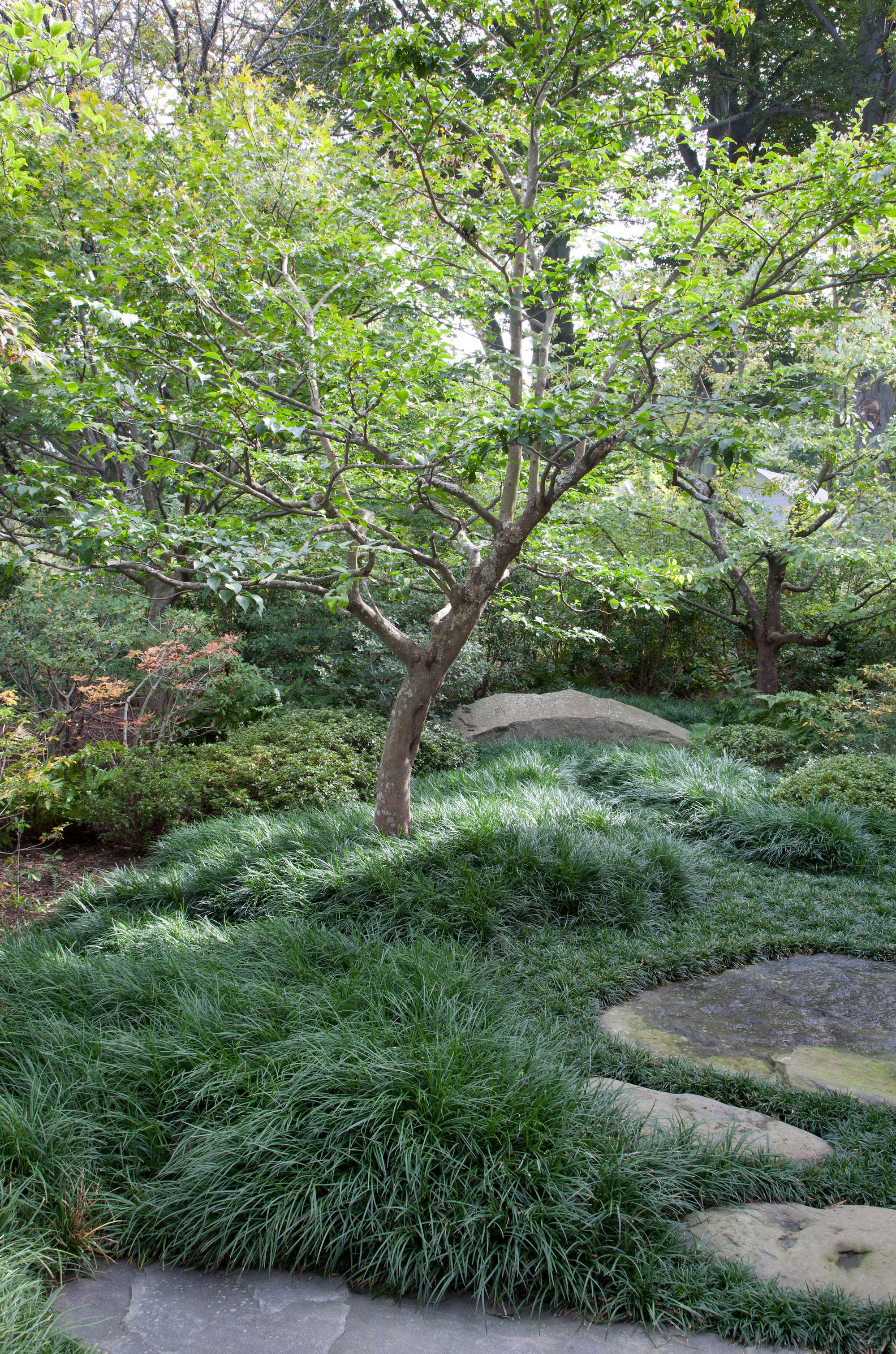 A Japanese snowbell tree (Styrax japonicus), surrounded by mondo grass, with clipped azaleas and a patch of enkianthus off to the left.
