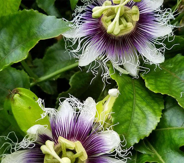 passionfruit-flower-marie-viljoen