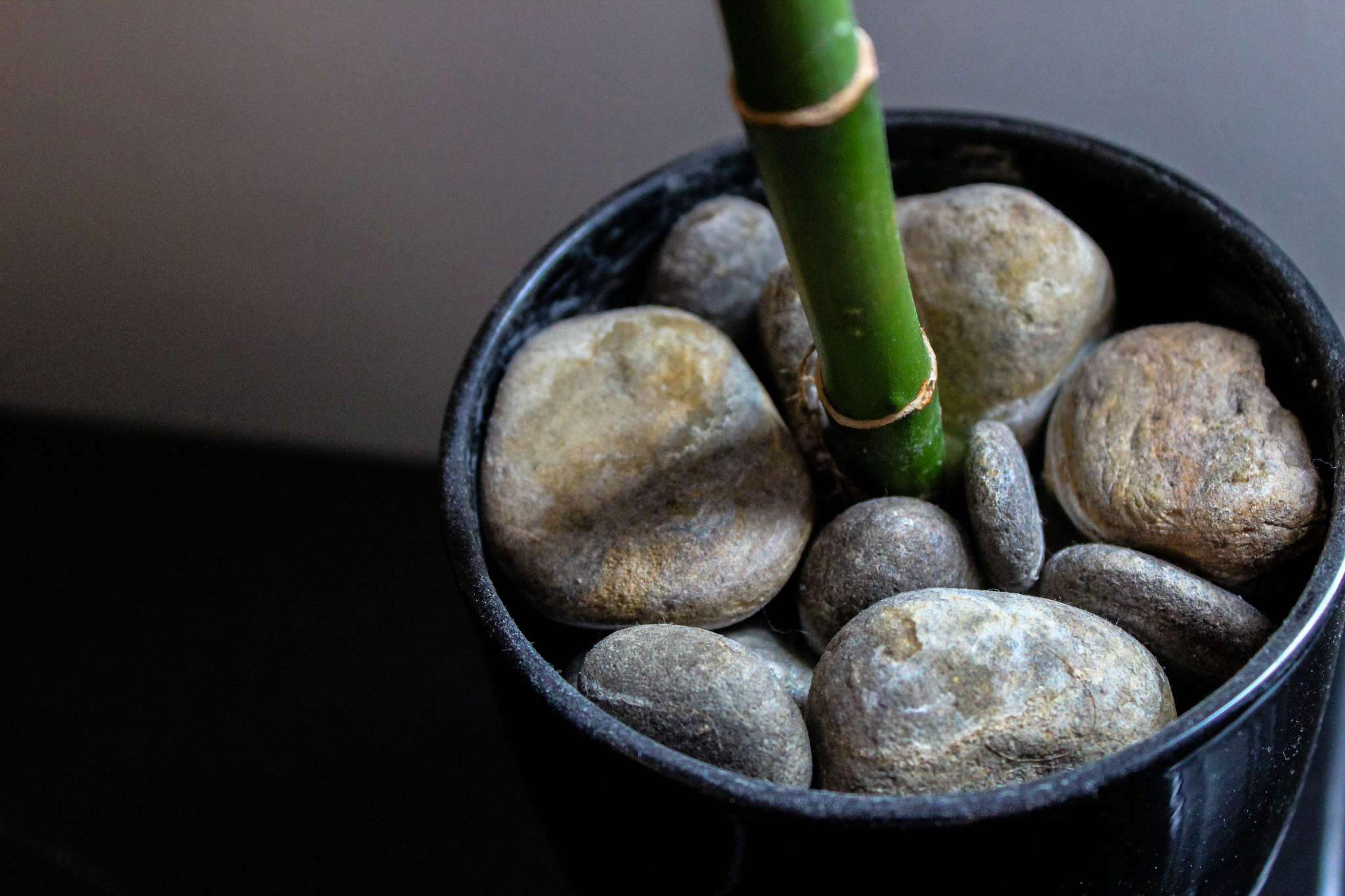 Potted Lucky Bamboo by Grant Guarino