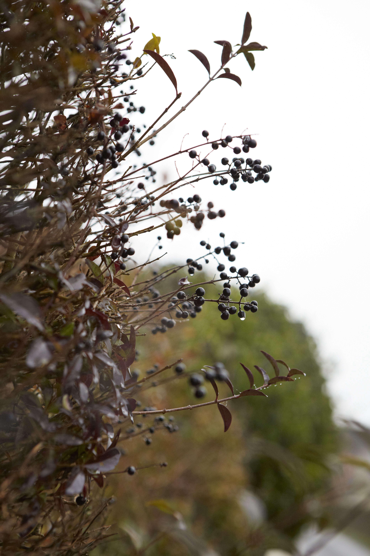 privet-berries-britt-willoughby-dyer-bn2a0005