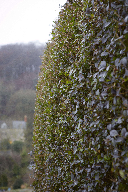 privet-hedge-britt-willoughby-dyer-bn2a0021