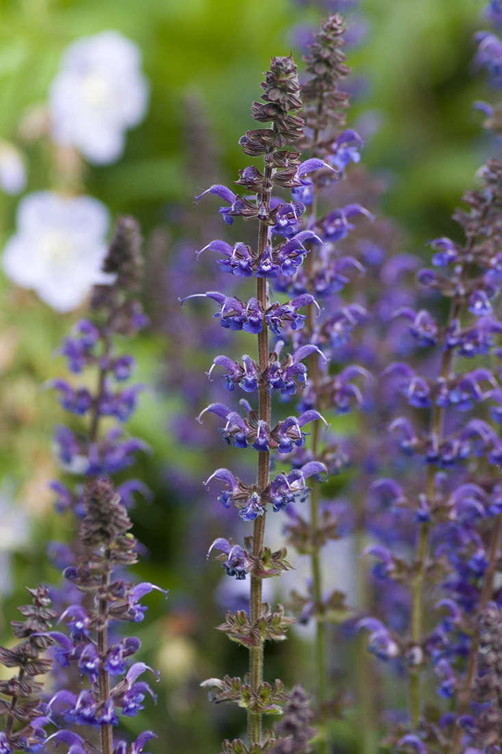 Salvias grow as very hardy perennials at altitude, or may need overwintering in a greenhouse in the northern hemisphere. The most exciting varieties to appear in recent years have been New World salvias, such as those bearing the name &#8
