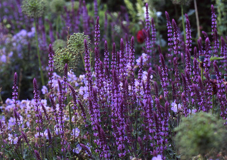 With their intense coloring of petal, calyx, and stem, salvias can lift a garden into something special. They are also good mixers, providing long-flowering verticals that flatter complementary shades of purple, blue and red, while shimmering against textural green.