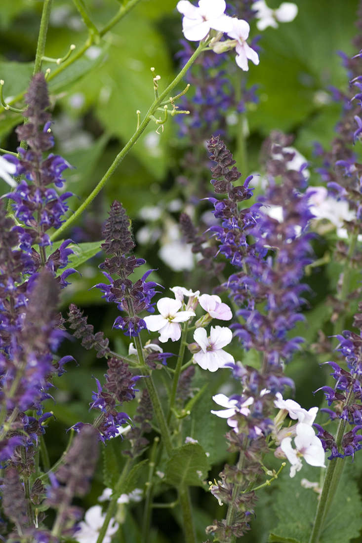 Salvia with sweet rocket, in a cottage-y pairing.