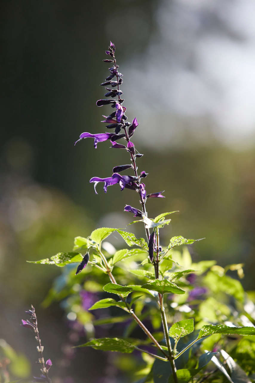 Salvia &#8\2\16;Amistad&#8\2\17; is a fairly recent large variety that is highly regarded. Reaching 4 feet high and flowering from May until October, dark stems and calyces of &#8\2\16;Amistad&#8\2\17; contrast with luminous purple flowers and sizable green leaves. Removing spent flower spikes extends the season.
