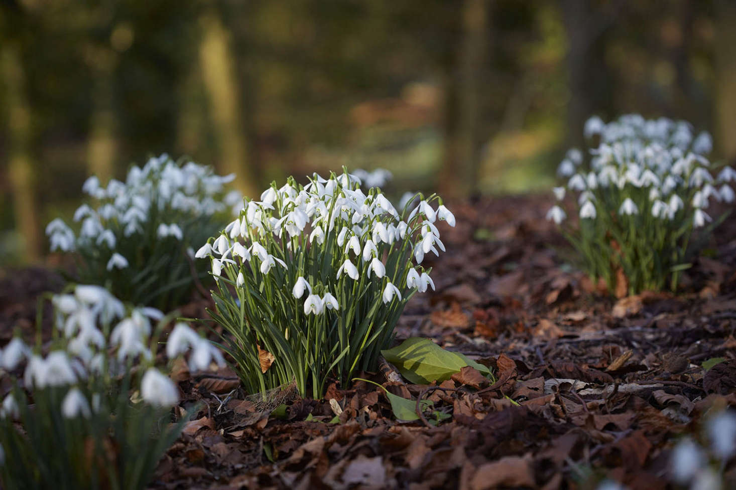 "Snowdrops enjoy the naturally dampish conditions of a woodland floor; adding leaf compost (aka ""leaf mold"") makes them feel at home. See Gardening src="