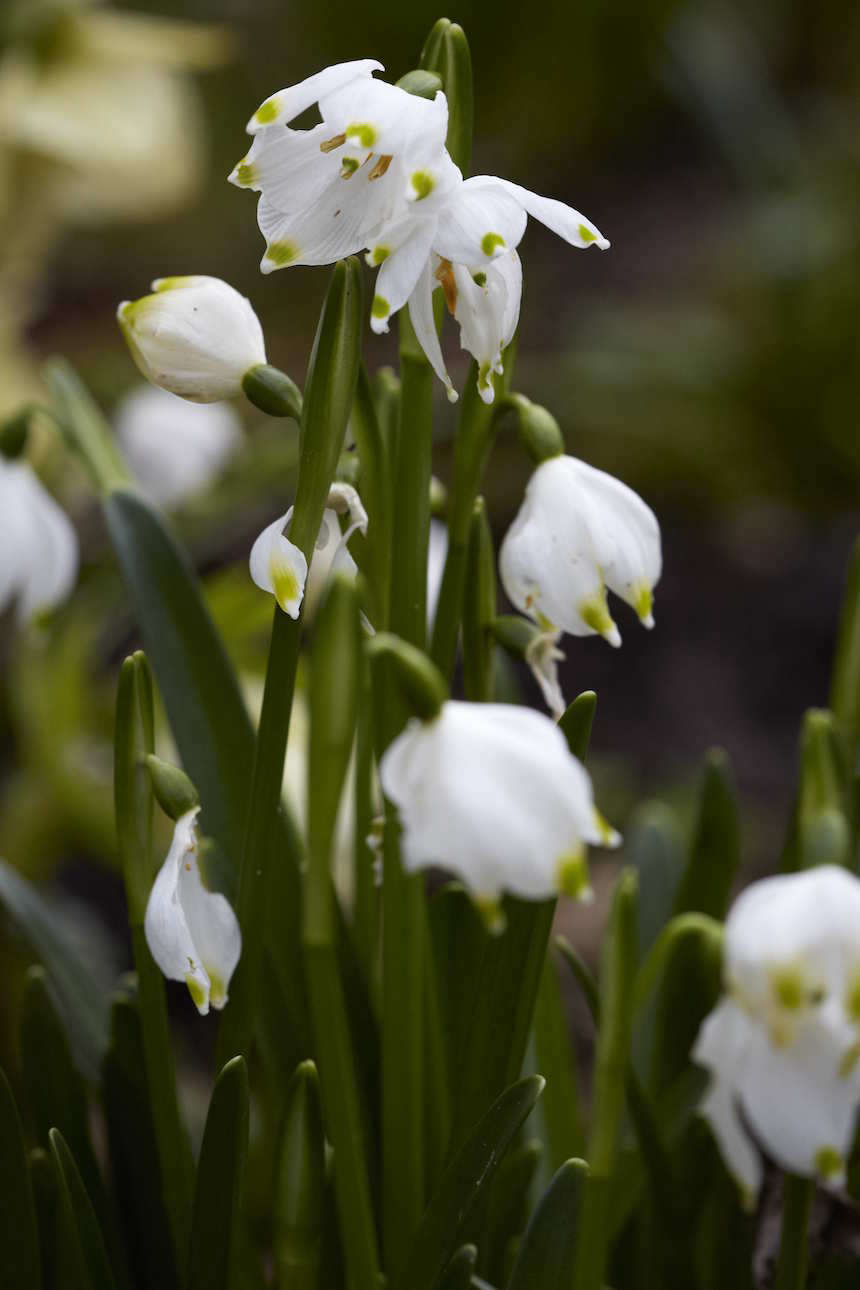 snowdrops-britt-willoughby-dyer