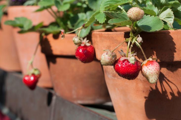 strawberries-terra-cotta-pots-marie-viljoen