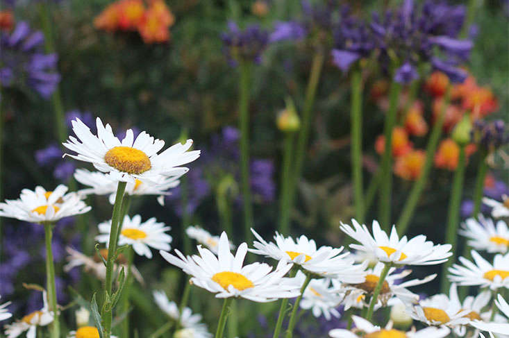 white-daisies-marie-viljoen
