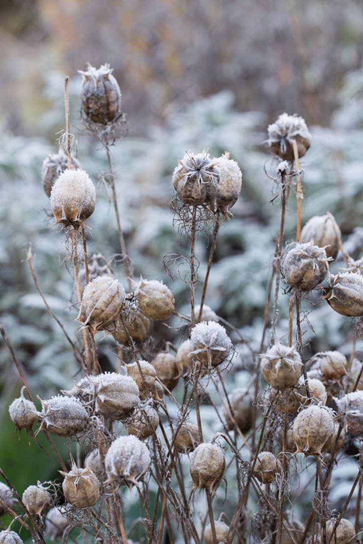 winter-garden-heather-edwards-nigella