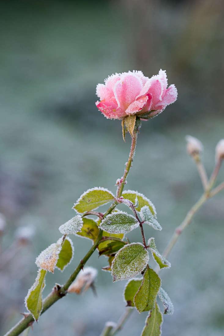 winter-garden-heather-edwards-rose