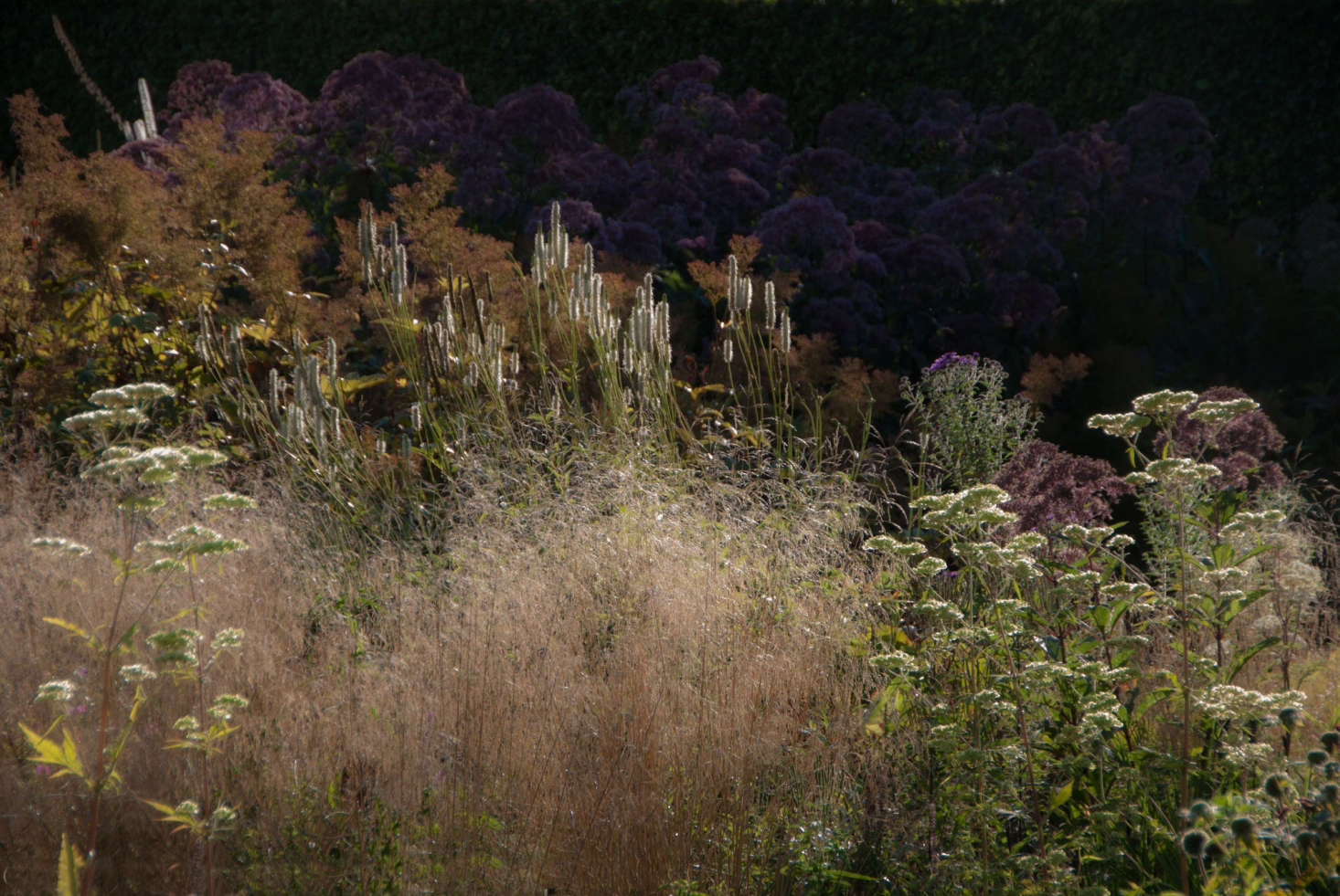 Actaea racemosa (Black Cohosh) addsheight and airiness behind grasses.