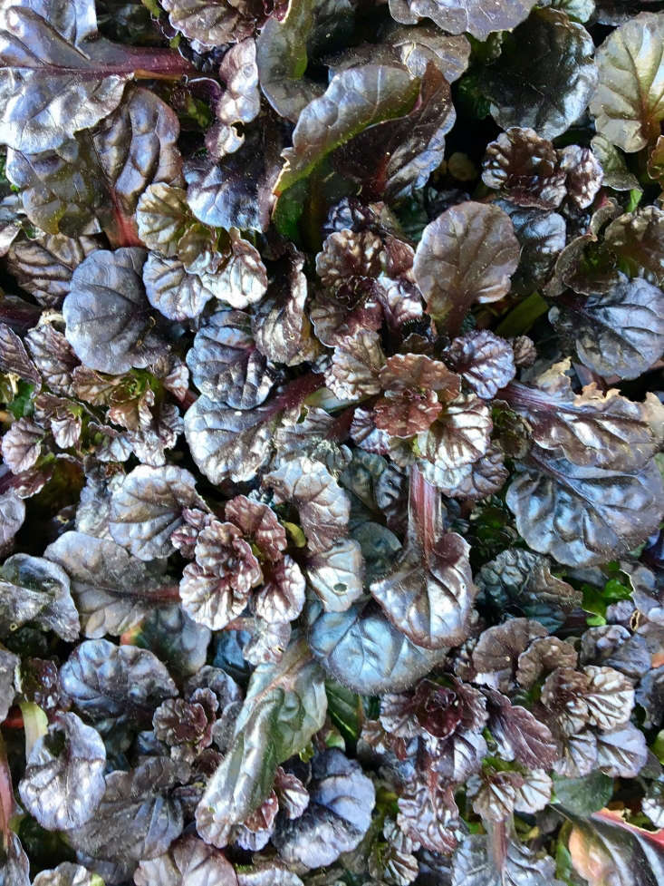 Ajuga &#8\2\16;Cailtlin&#8\2\17;s Giant&#8\2\17; in all its shiny, burgundy loveliness. Photograph by Kier Holmes.
