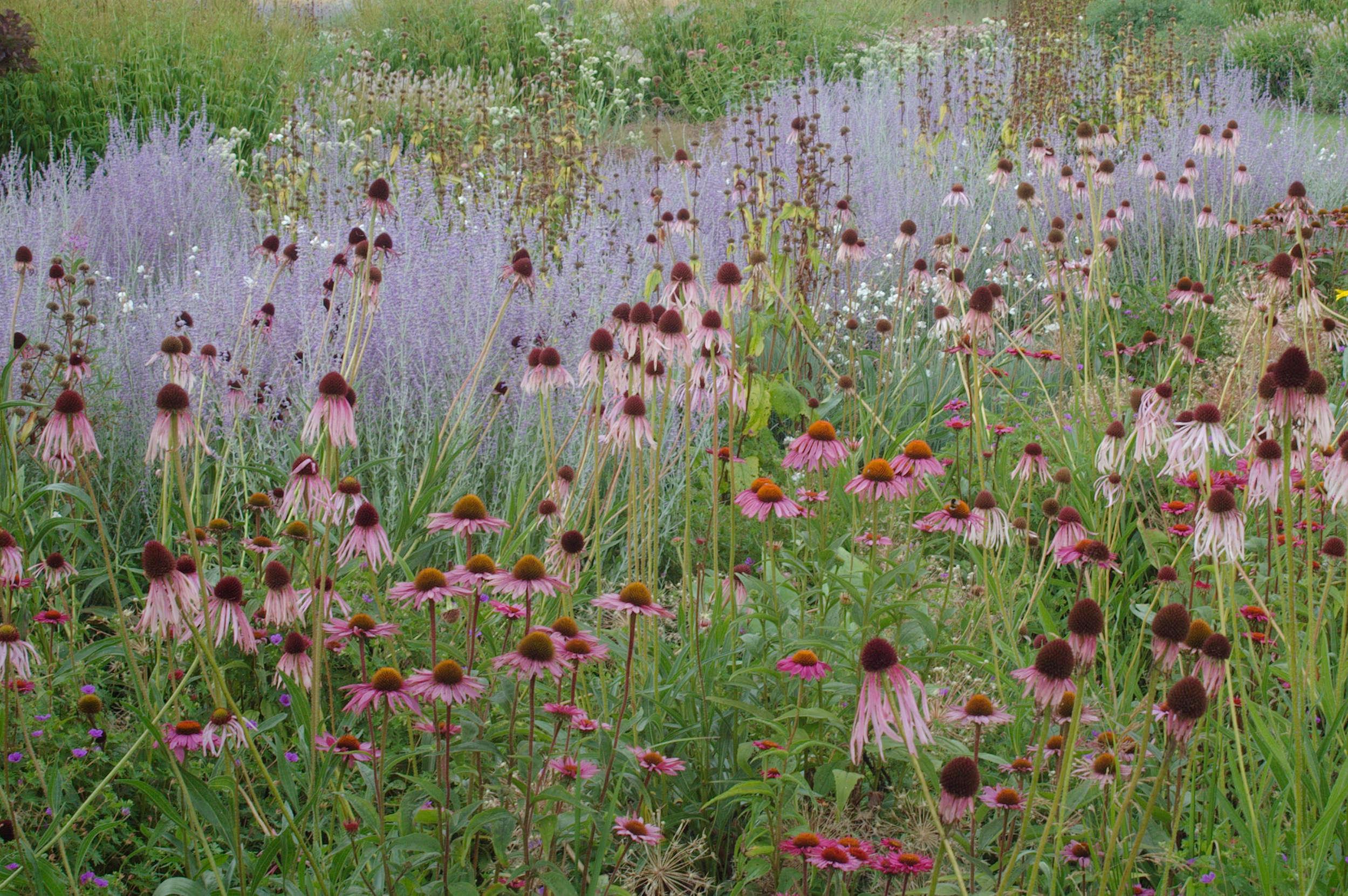Echinacea varietiesand hazy purple Perovskia atriplicifolia (Russian sage)mingle in Dutch designer Piet Oudolf&#8\2\17;s garden at Hummelo. Photograph courtesy of My Garden School. See more at Garden Design: Learning to Plant the Piet Oudolf Way.