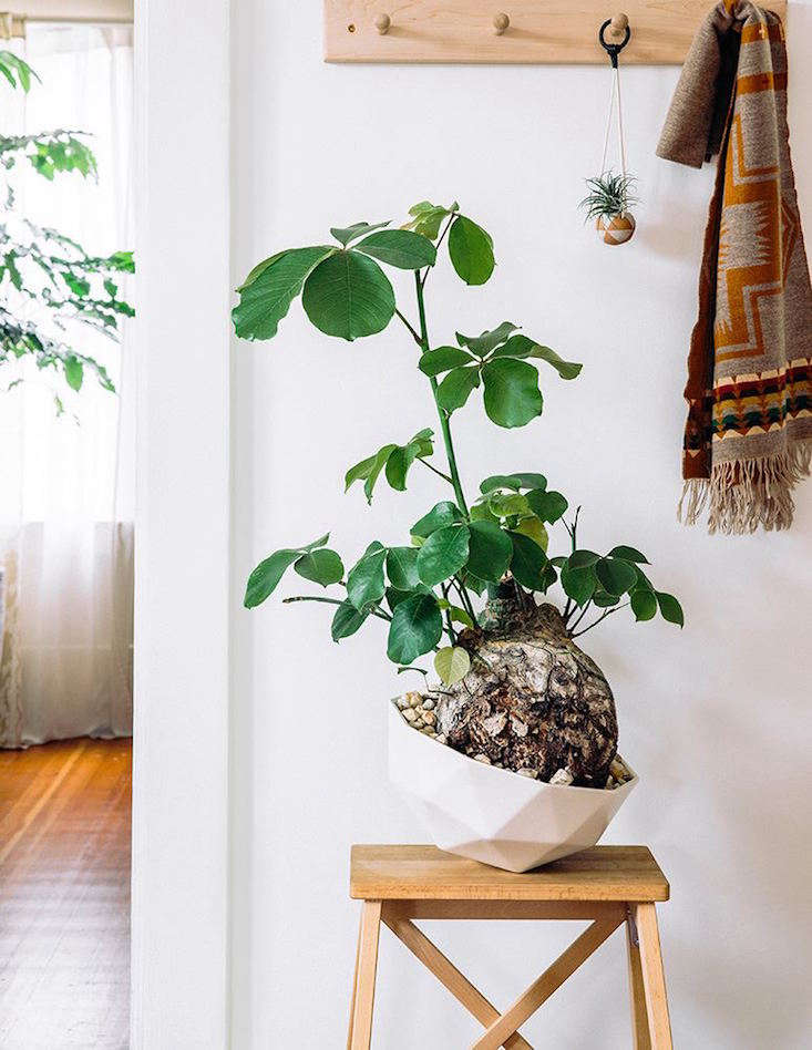 Pseudobombax, a tree from Mexico, perfectly placed in a Kelly Lamb planter. Photo by Thomas J. Story via Sunset Magazine.