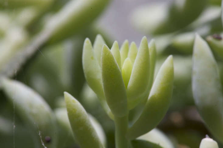 Sedum morganianum &#8\2\16;Burro&#8\2\17;s Tail&#8\2\17; looks like a true succulent, with pillowy leaves to store water. Photograph by John Lodder via Flickr.