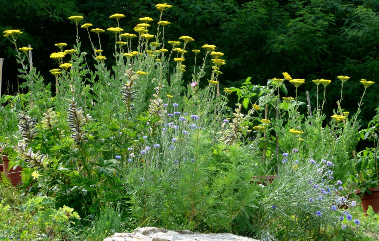 Yellow yarrow (Achillea) mingles well with other perennials in a flower bed. Photograph by Cristina Sanvito via Flickr.