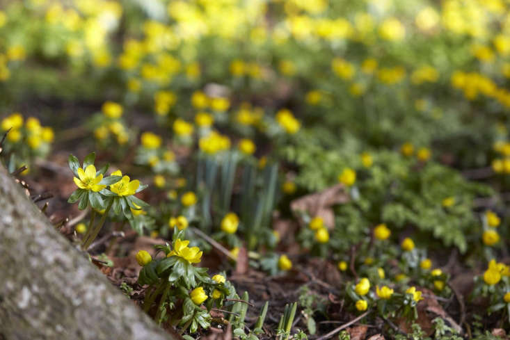 Aconites in early spring, just asdaffodilsbegin to emerge.
