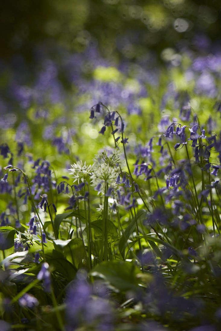 bluebells-wild-garlic-britt-willoughby-dyer-gardenista-4