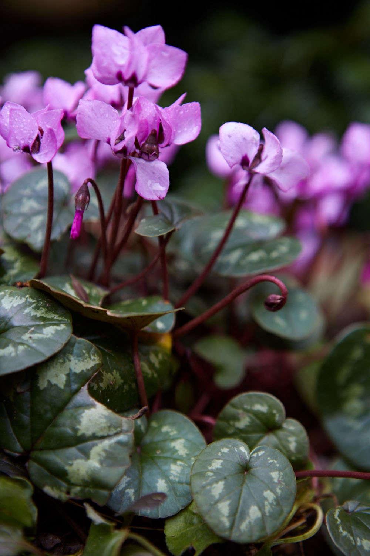 britt-cyclamen-foliage