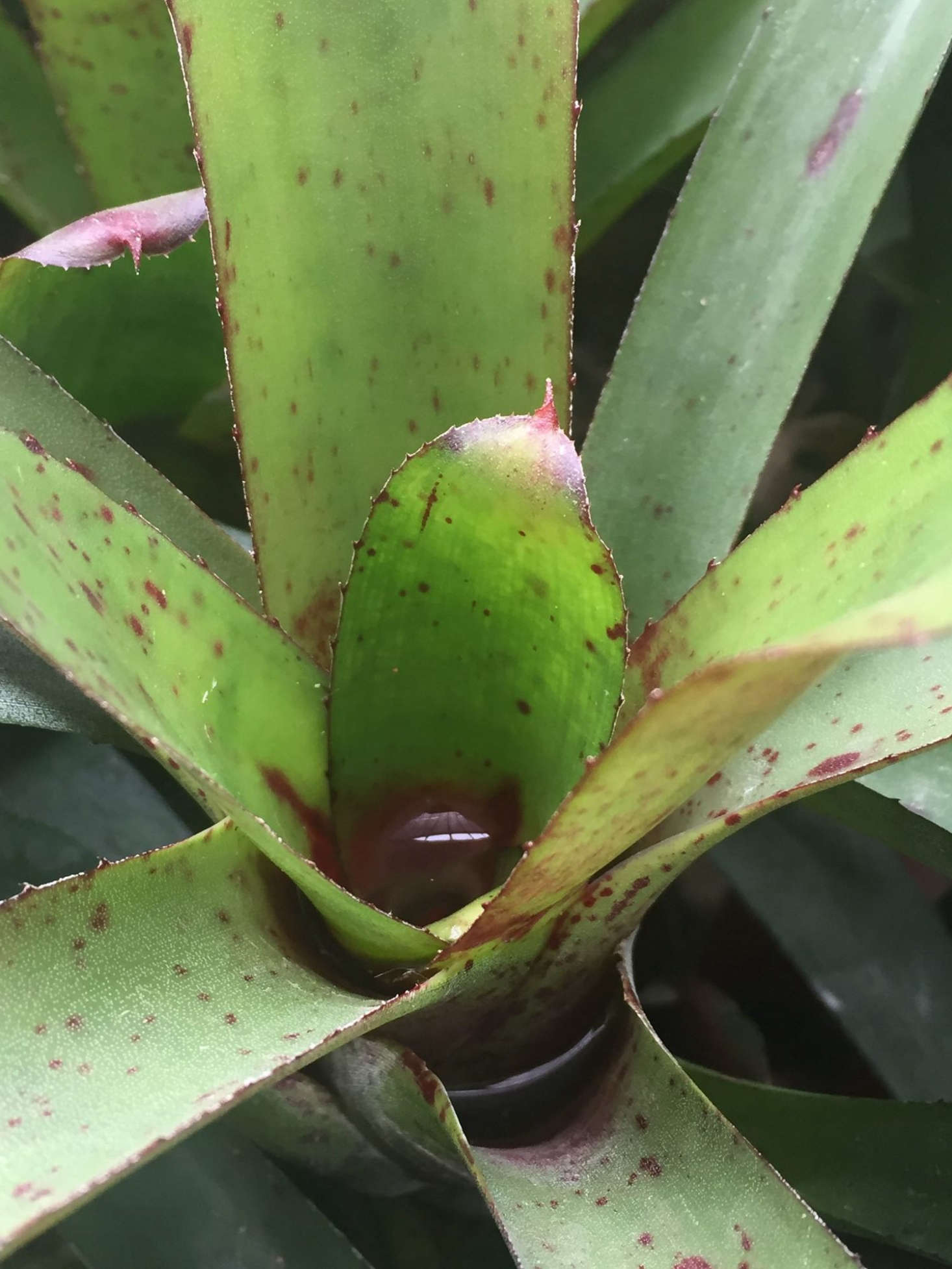 An evergreen Neoregelia &#8