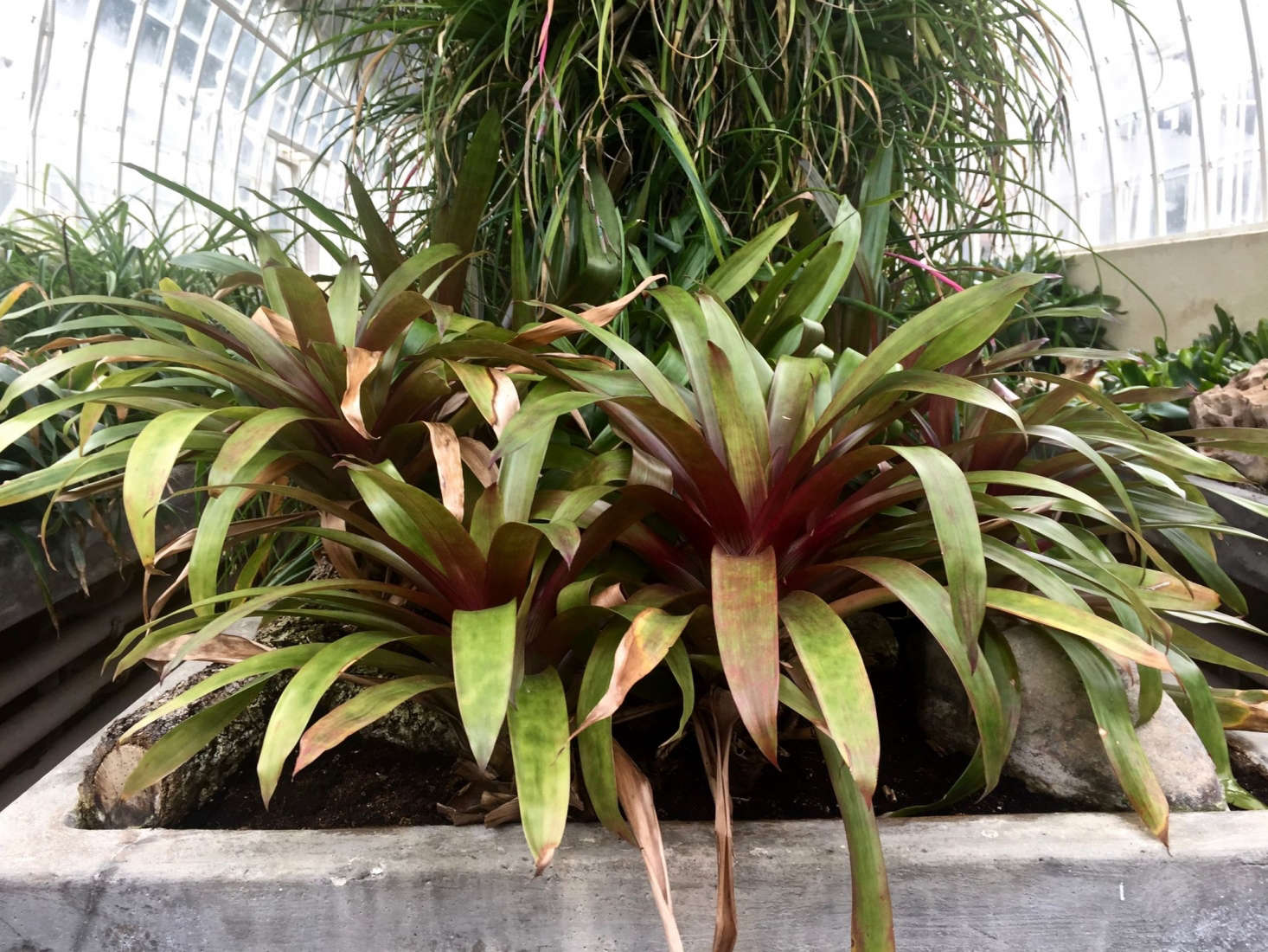 Never use a metal container to water a Bromeliad (the plants are sensitive to metal and the results could be disastrous). Photograph by Michelle Slatalla.