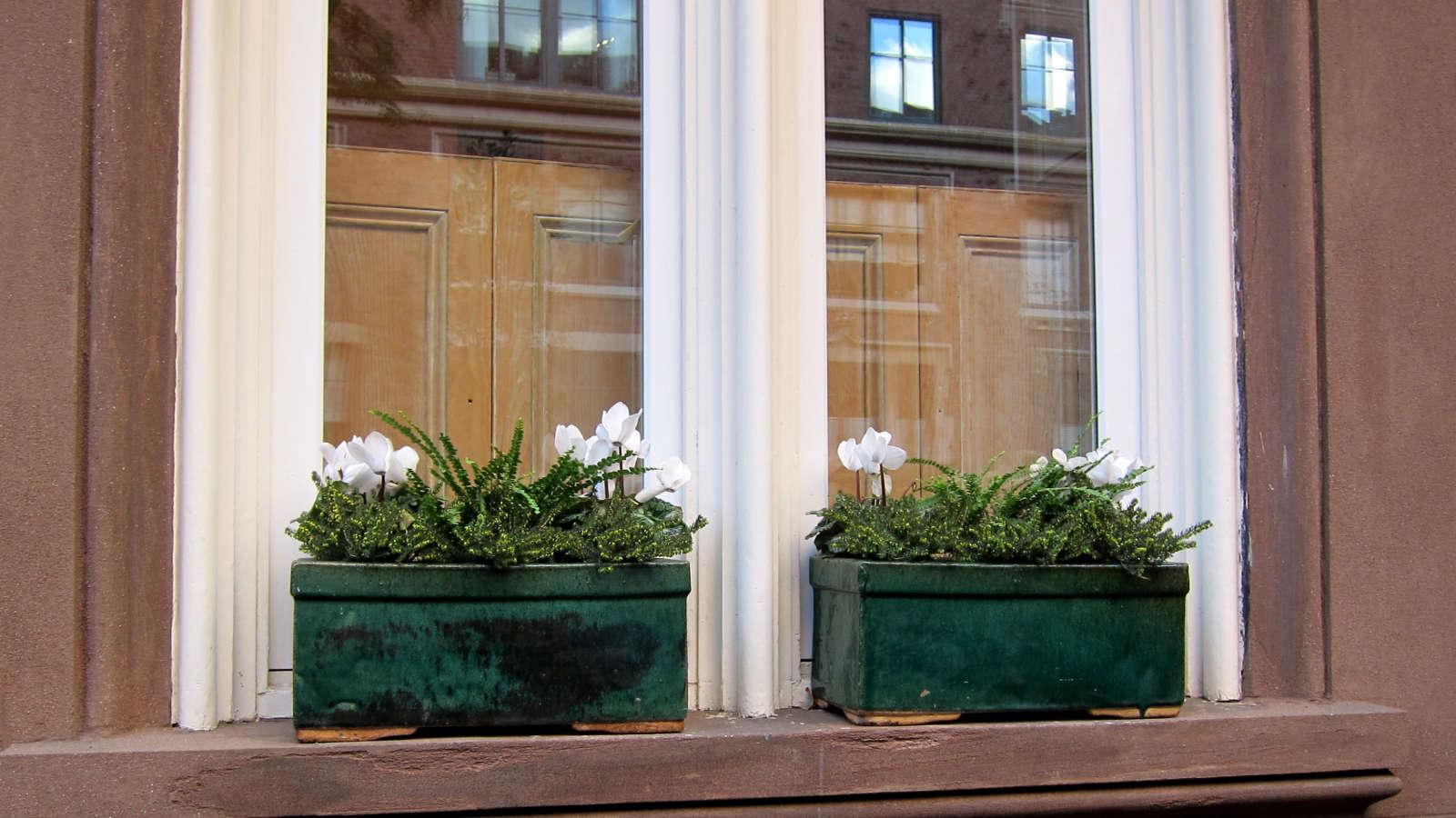 In temperate weather, button ferns are happyon a windowsill in Manhattan&#8