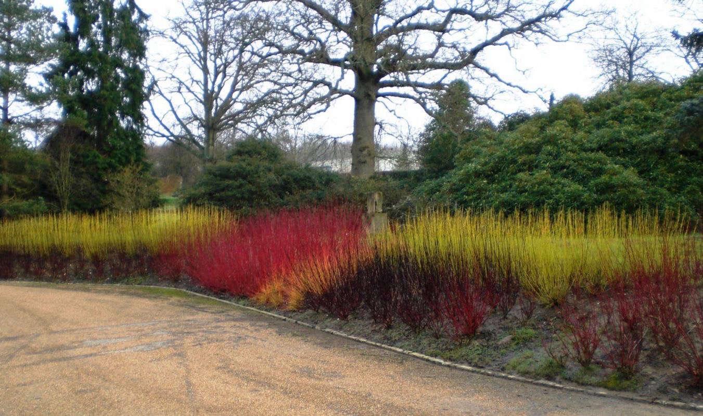 cornus-stolonifera-flaviramea-yellow-red-twig-dogwood-signature-plants-cropped