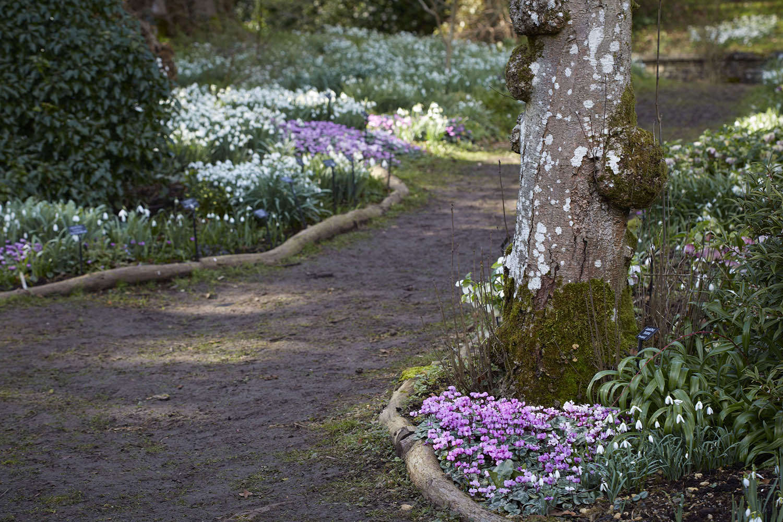 cyclamen-britt-dyer-colesbourne-park