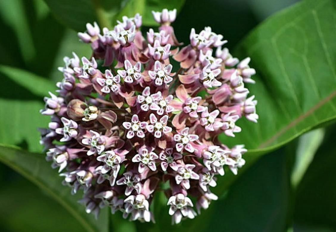 Etsy SmartSeeds Asclepias Syriaca Milkweed Seeds