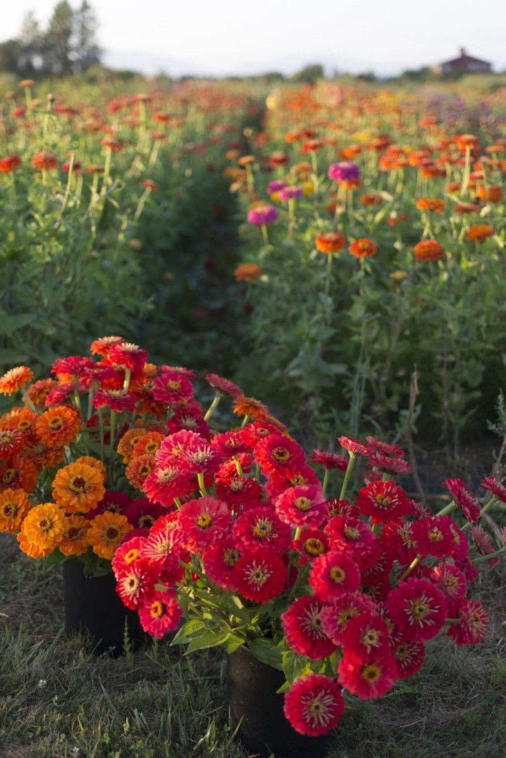 For a rainbow of colors, a Candy Mix of Zinnia elegans seeds will reach maturity in from 75 to 90 days; $4.95 for a packet of seeds from Floret Flowers.