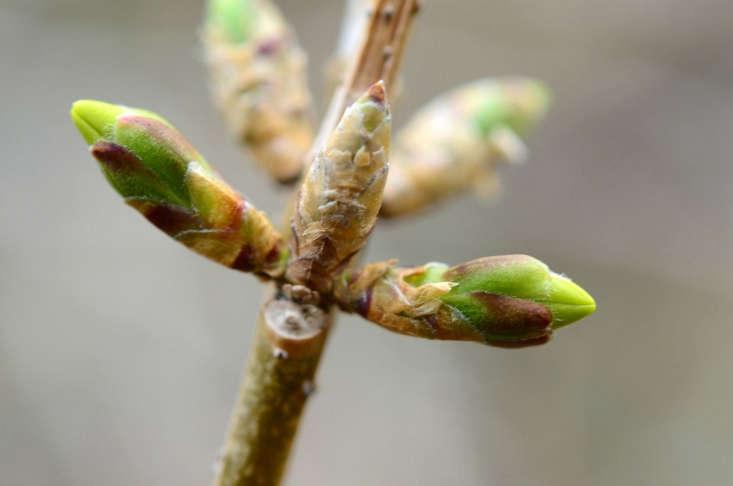 Forsythia buds prepare to burst into bloom. Photograph by Slgckgc via Flickr.