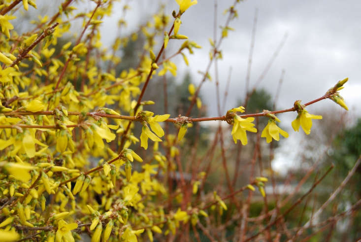 Forsythia in bloom. Photograph by Ting Chen via Flickr.