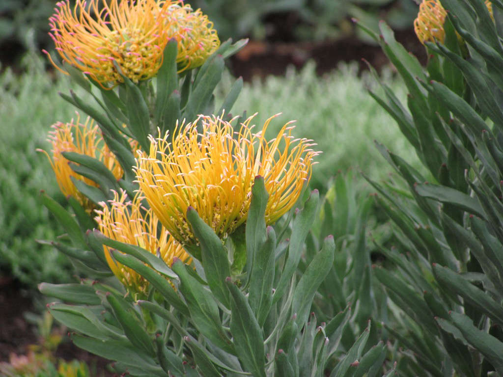 leucospermum-malcolm-manners-flickr