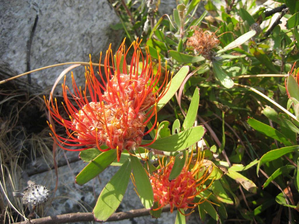leucospermum-saxosum-ton-rulkens-flickr