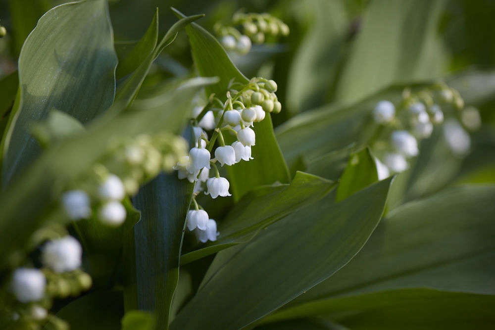 The little waxy blooms of lily of the valleyare easy to copy as artificial flowers—in fact they look slightly artificial.