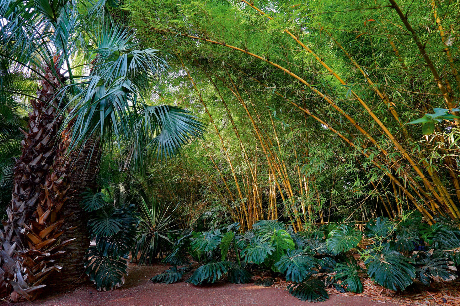 A bamboo grove is edged with low-lying Monstera deliciosa in Jardin Majorelle. Photograph by Alessio Mei, from Gardens of Marrakesh. See Required Reading: Gardens of Marrakesh.
