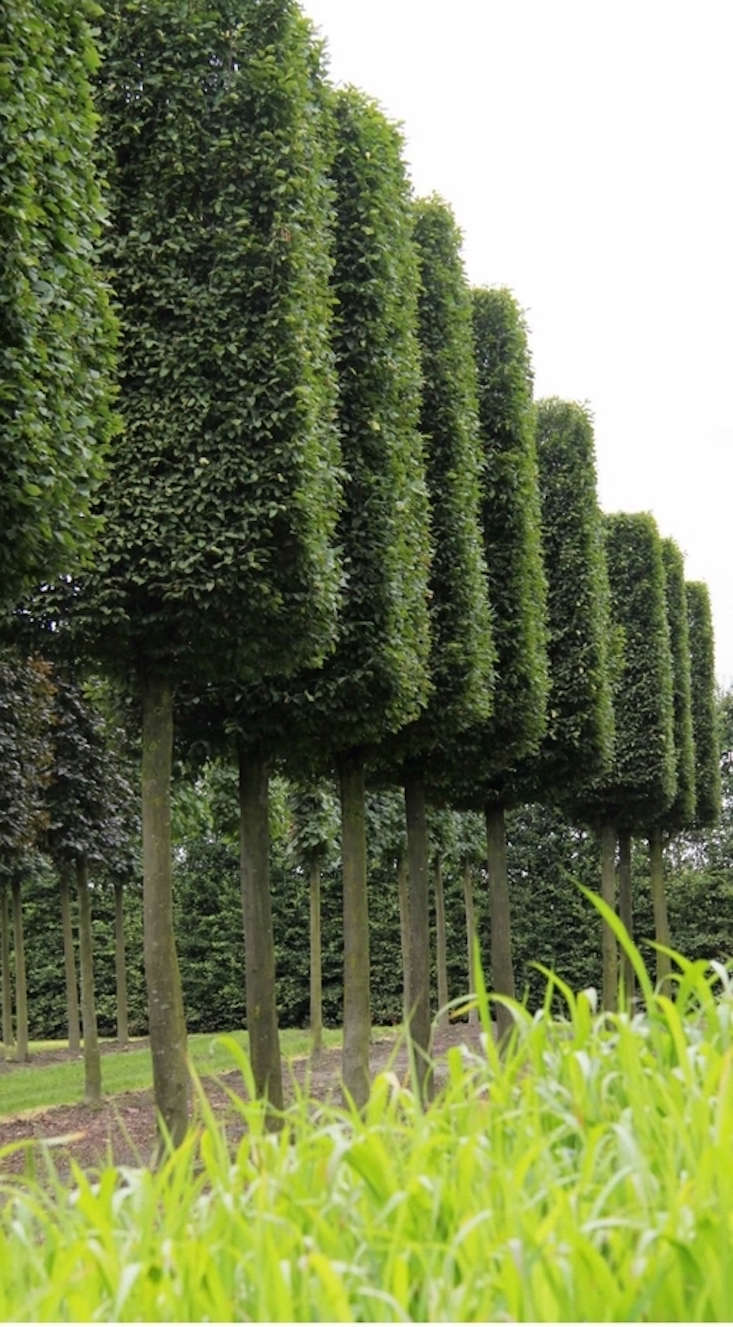 mature-boxhead-topiary-pleached-trees-crown-topiary