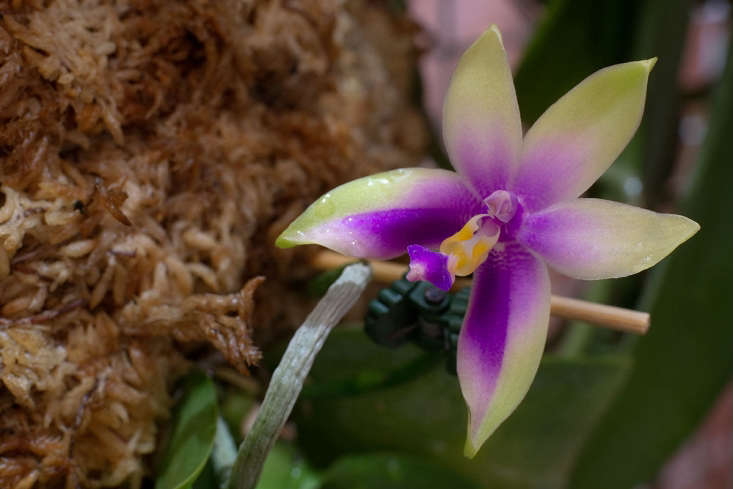 These days you can now easily purchase a lovely and inexpensive potted orchid, a Cattleya or a Phalaenopsis (shown) or perhaps a Dendrobium, along with your groceries at the local market. Photograph by McGarrett88 via Flickr.