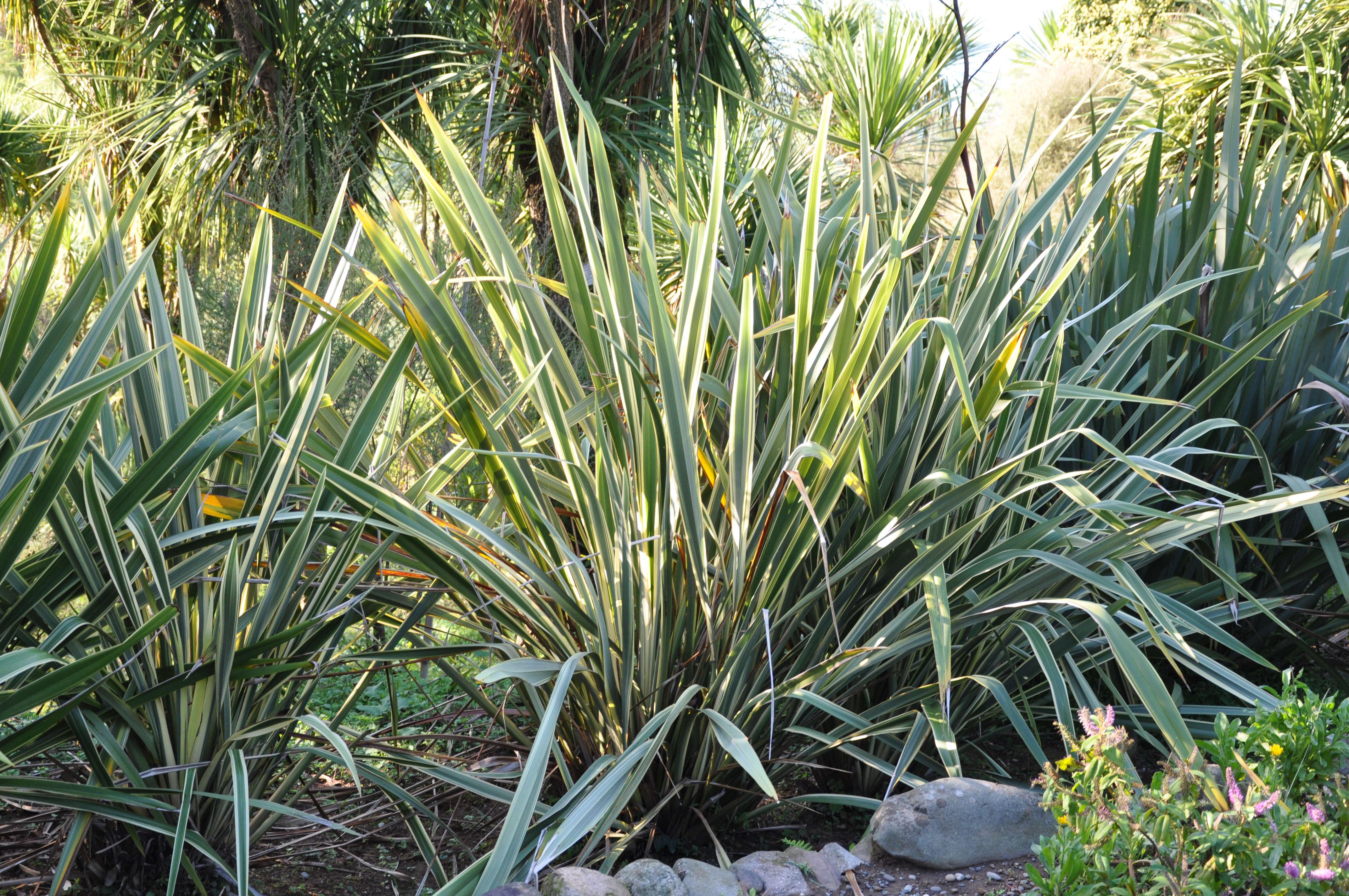 phormium-tenax-new-zealand-flax-lazaregagnidze-wikimedia