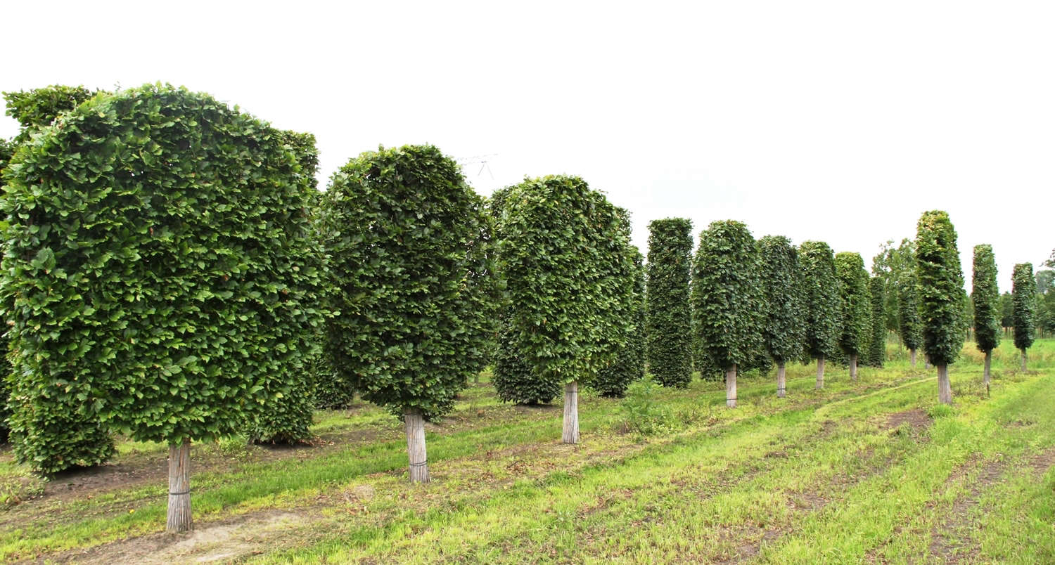 round-pleached-hornbeam-trees-crown-topiary