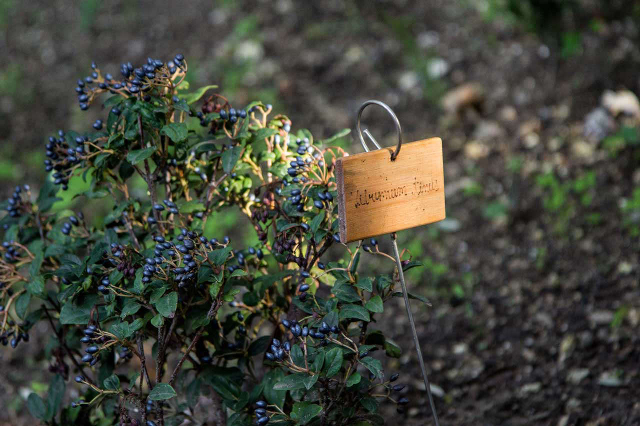 small-shrub-with-blue-berries-in-sardinia