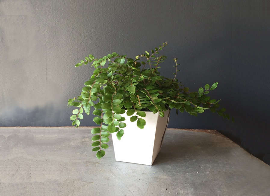 Photograph of a button fern via Minnesota plant shop Spruce Flowers and Home.