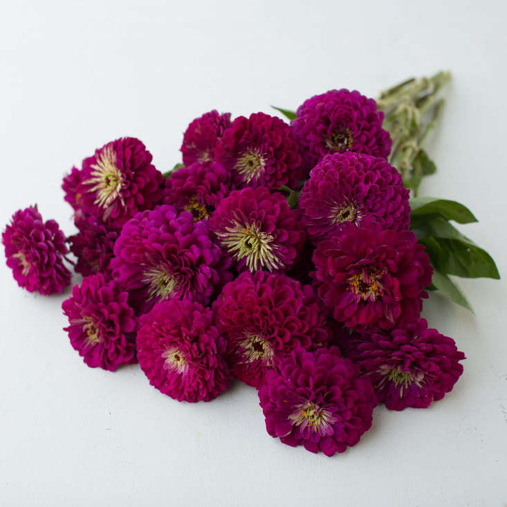 &#8\2\20;This Floret customer favorite and cottage garden classic comes in a dramatic deep wine hue,&#8\2\2\1; says flower grower Erin Benzakein. A packet of Zinnia Giant Wine seeds is \$4.95 from Floret Flowers.