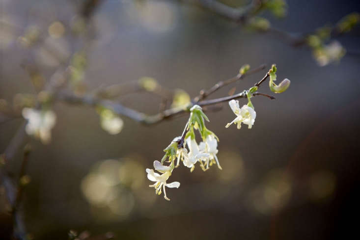 Winter Beauty is best planted along a woodland path, or where a summer plant can obscure its gangly habit.